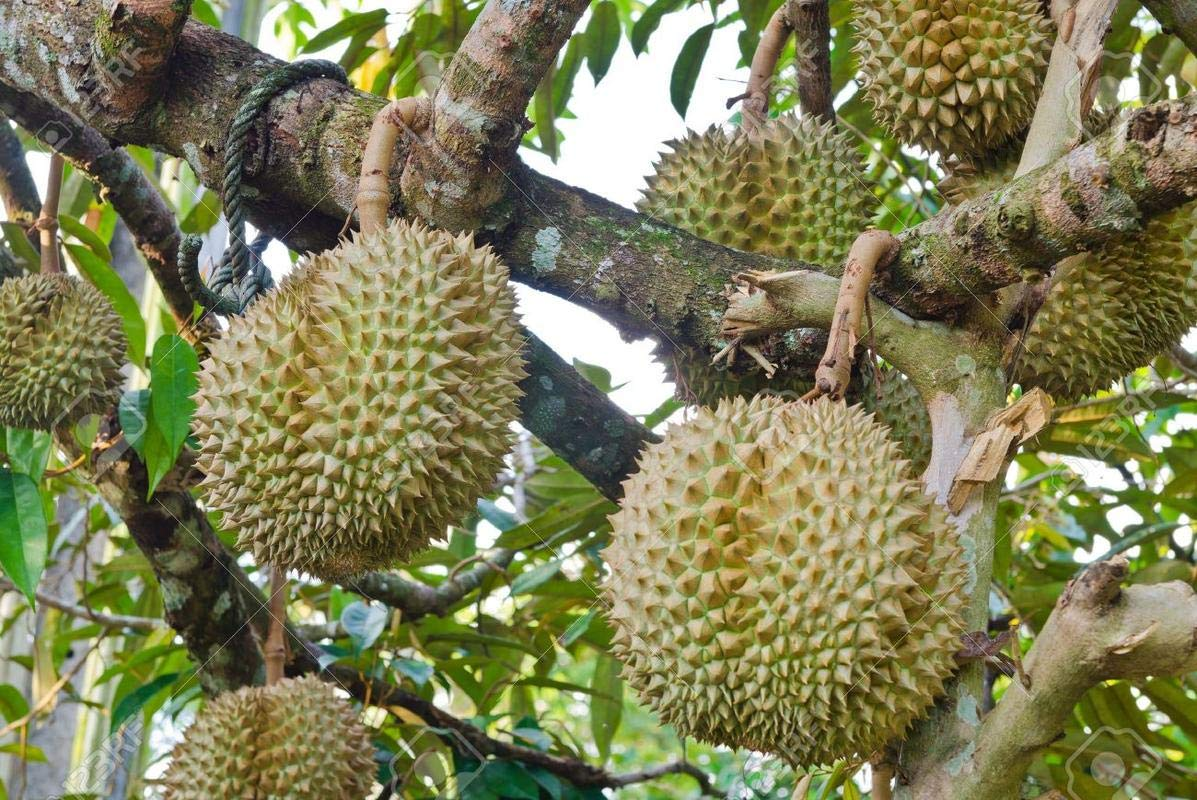 Want to know the powerful impacts of black gold durian